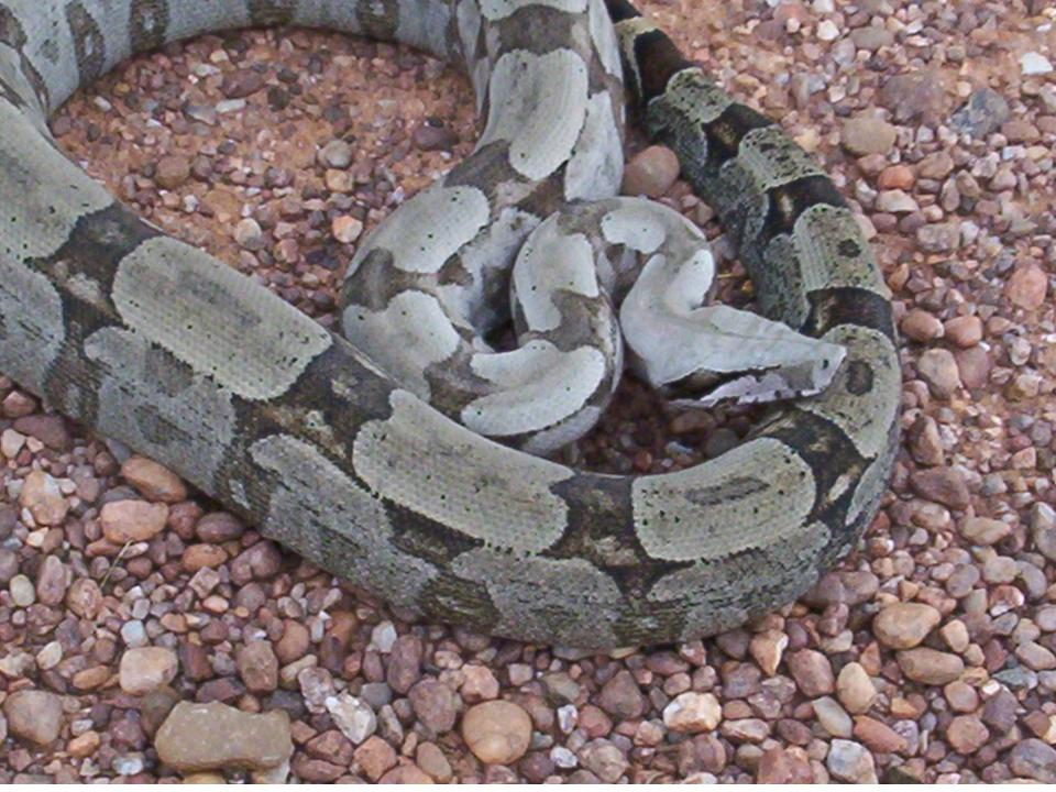 prince boa constrictor and chapter Chapter 1 once when i was six years old i saw a magnificent picture in a book, called true stories from nature, about the primeval forestit was a picture of a boa constrictor in the act of swallowing an animal.