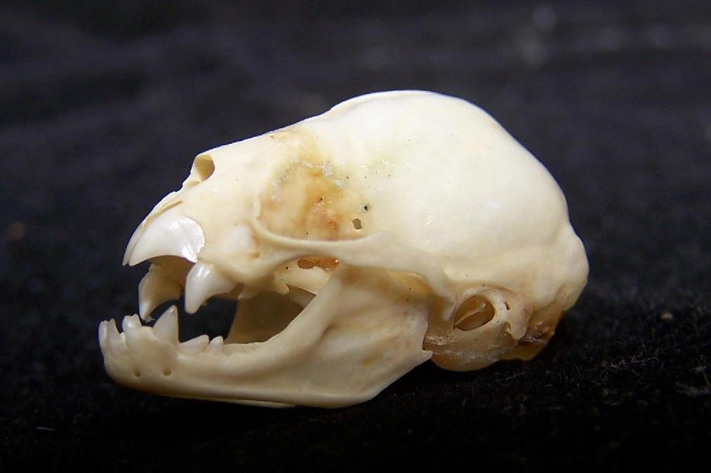 Phyllostomidae Skull Gallery Fauna Paraguay