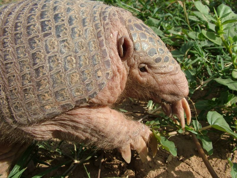 First Records of the Southern Naked-Tailed Armadillo